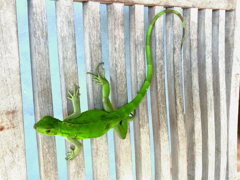 Getting To Know Your Virgin Island Lizards