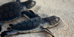 Green turtle hatchlings scurry to the sea. A sustainable environment – one that provides for today without hampering the needs of tomorrow – is one of the keys for development in the U.S. Virgin islands. (Photo provided by the NPS Buck Island Sea Turtle Research Program staff)