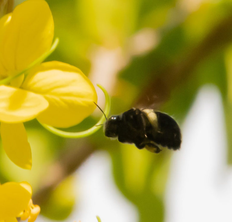 A Golden Shower for Carpenter Bees