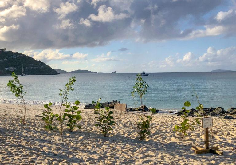 Sea Grape and Buttonwood Trees Favored for St. John Coastal Restoration