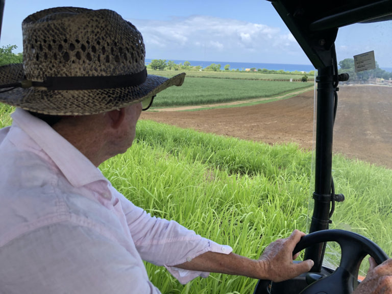 On St. Croix and Puerto Rico, a Centuries-Old Crop is New Again