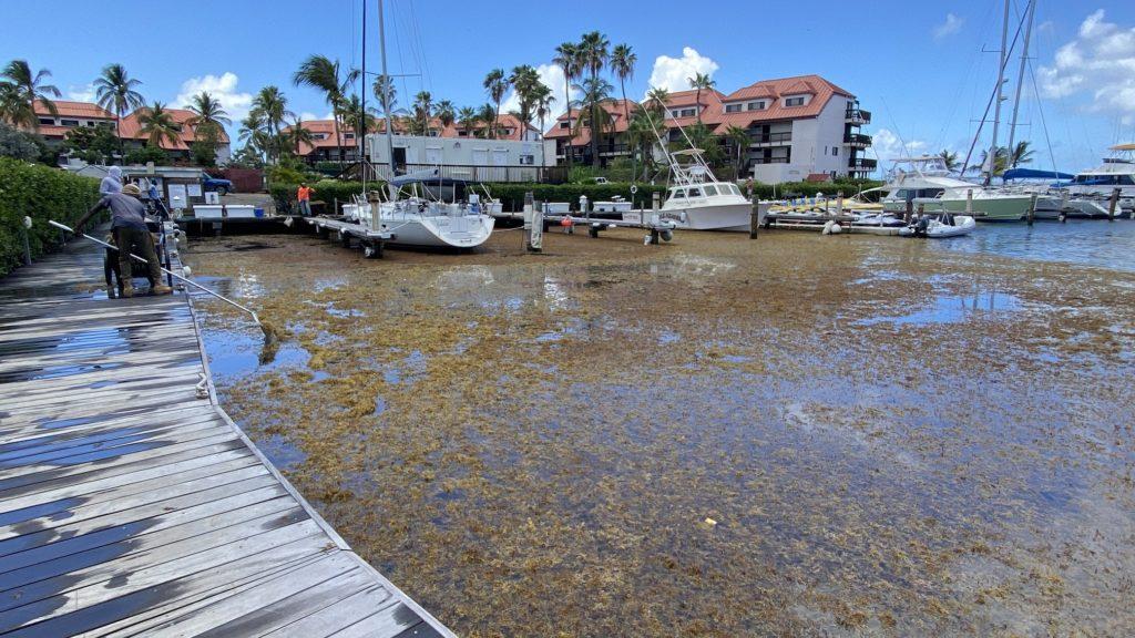 A sargassum invasion at Sapphire Bay Marina on St. Thomas. (Photo courtesy of the USVI Hotel & Tourism Association)